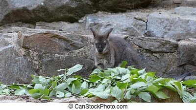 small cute baby of kangaroo grazing, Red necked Wallaby on...