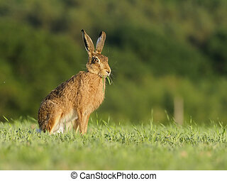 European brown hare, Lepus europaeus, single hare,...