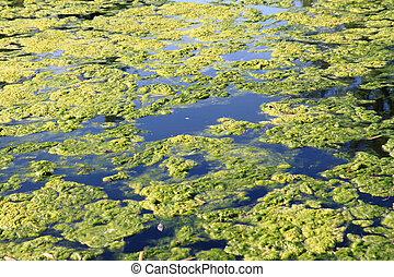 green water alga in the big lake