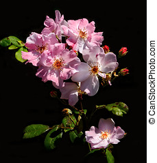 Pink Knockout Rose Branch - Blooming branch of pink Knockout...