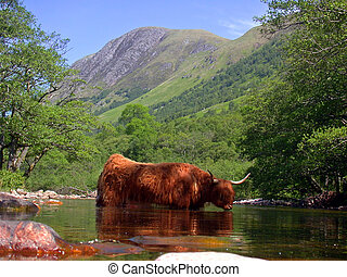 Highland cow and Ben Nevis