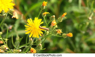 HD Dandelion flower and a caterpillar on it