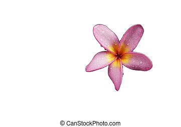 Dok champa flower as white isolate background