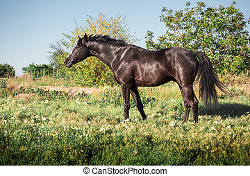 Black horse stays on a green field on clouds background
