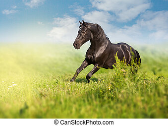 Black horse runs on a green field on clouds background