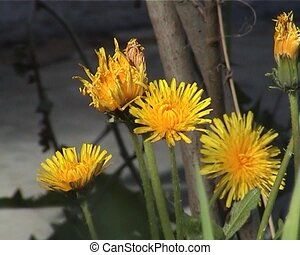 PAL Dandelion flowers