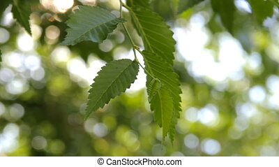 HD Green leaves and branches of the Elm tree