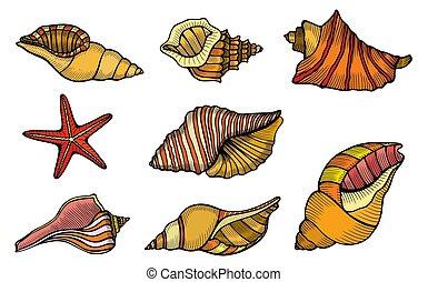 Sea shell Set - Sea shell. Set color engraving vector...