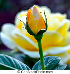 Michelangelo Rose Bud - Michelangelo variety, yellow Rose...