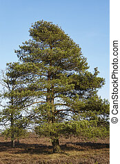 Conifers into heathland in spring - Some conifers stand in a...