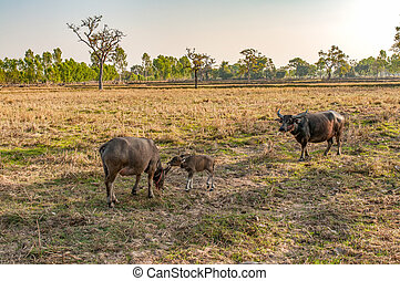 Water Buffalo Mother and Baby Eating Grass in Country Field...