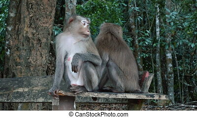 A pair of pig-tailed macaques - A pair females of Northern...