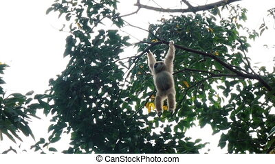 White gibbon hanging on a tree - Adult white gibbon hanging...