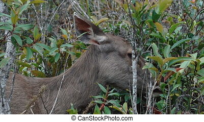 Sambar eating leaves - Video of the sambar at Khao Yai...