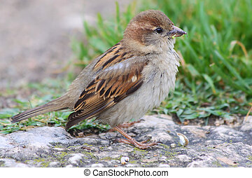 Female House Sparrow (Passer domesticus) on stone floor