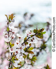 white bloosom of cherry tree in spring season - travel to...