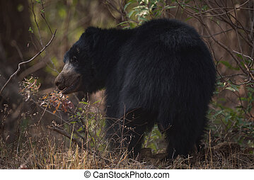 Sloth bear turning head under shady bushes