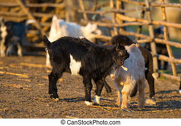 goat kids standing on straw in front of shed