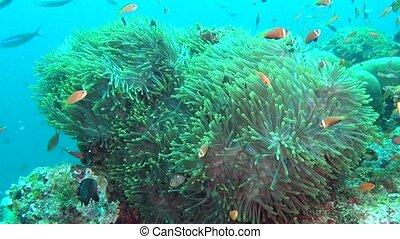 Anemone actinia and bright orange clown fish on seabed...