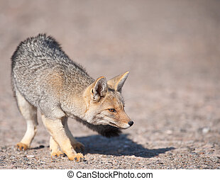 Patagonian Grey Fox (Dusicyon culpaeus). - Patagonian Grey...