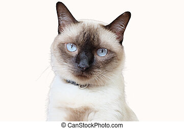 Portrait of Siamese cat on white background.