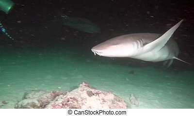 Shark on background of clean clear seabed underwater lagoon ocean in Maldives.