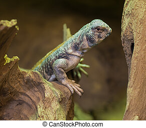close up on Omani spiny tailed lizard uromastyx thomasi