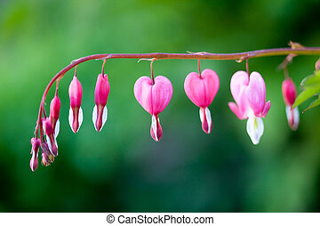 Bleeding heart - Pink bleeding heart flower hanging