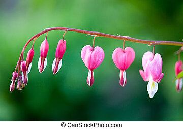 Bleeding heart - Pink bleeding heart flower hanging