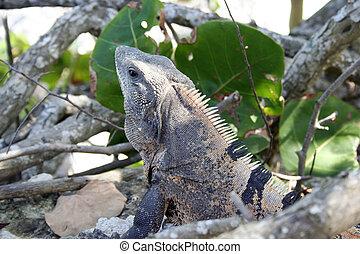Iguana in greens  - Iguana in jungle near beach in Mexico