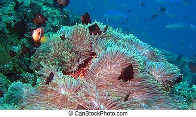 Anemone actinia and fish on seabed underwater of Maldives.