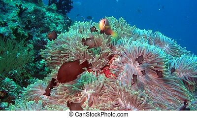 Anemone and bright clown fish on clean clear seabed underwater of Maldives.