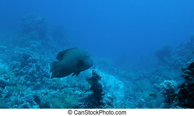 Napoleon fish or humphead wrasse over coral reef with water...
