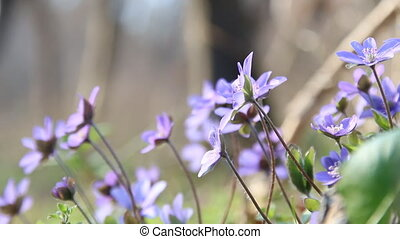 Blue spring flowers, floral background - Beautiful blue...