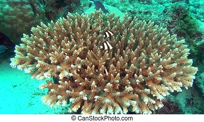 Striped fish in search of food underwater in sea of...