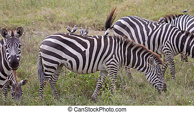 Oxpeckers On Zebra-Back - Small group of oxpeckers hitching...