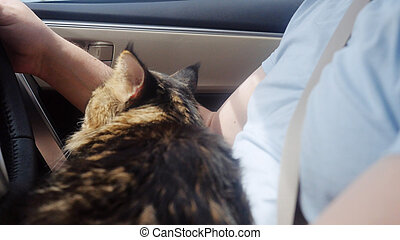 Sad Maine Coon cat traveling with a host in car.
