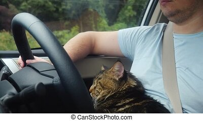 Maine Coon cat traveling with a host in car. - Sad Maine...