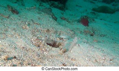 Goby fish on background of clear seabed underwater of...