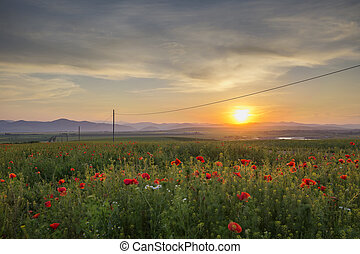 Field with poppies near Piatra Neamt - Romania - Field with...