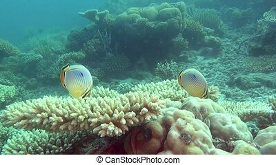 Angel fish on background of clear seabed underwater of Maldives.