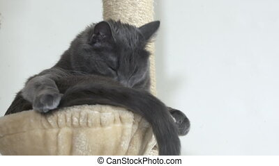 Gray house cat washing itself in a hammock bed at top of...