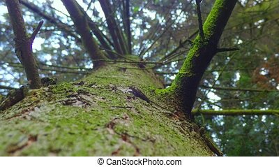 Slip on the trunk of a spruce - sliding on the trunk of a...