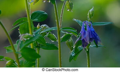 Blue Columbine flower after rain - Close up of Blue European...