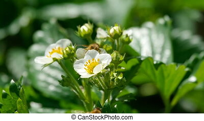 Bee on strawberry flowers