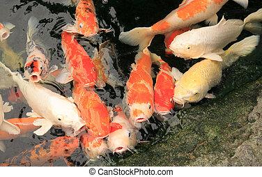 Carp fish waiting for food