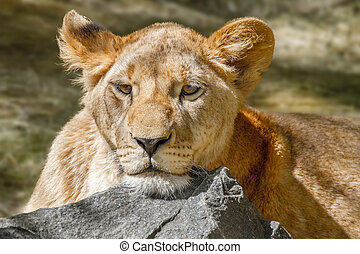 animal lioness has laid her head on a large stone - An image...