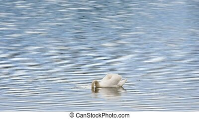 Swan swim on smooth water level with sun reflections and...