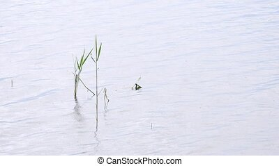 Fresh green reeds swinging and waving in the wind. Lake bank with small depth,  reflection in water