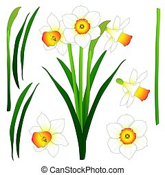 Daffodill - Narcissus. Vector Illustration. isolated on...